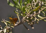 Butterfly Small Orange on Rosemary