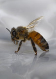 Rescued Bee on saucer