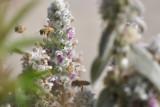 Three Bees buzzing