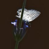 Irridescent Moth on Lavender