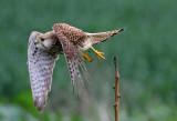 Common Kestrel  (female) 1  בזה מצוייה