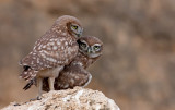 Little Owls  (14th,16th July 2009)