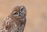 Little Owl -portraits