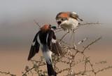 Woodchat Shrike -March/April 2010
