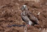 Short Toed Eagle vs snake.