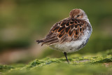 calidris_alpina