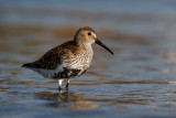 The first dunlin of this spring.