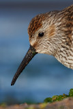 Close to the dunlin.