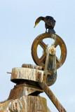 Anhingas and Cormorants
