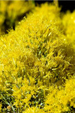 Meadow Goldenrod