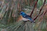Lazuli Bunting male