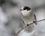 Mesangeai du Canada - Gray Jay