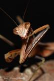 Tenodera aridifolia siniensis