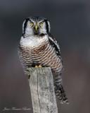 Chouette épervière - Hawk Owl