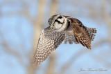 Chouette épervière Survol - Hawk Owl