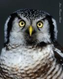 Chouette épervière portrait - Hawk Owl close-up
