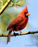 Cardinal rouge mâle - Cardinal (male)