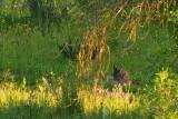 Lince pardina (Lynx pardellus)