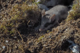 Topo quercino (Eliomys quercinus)