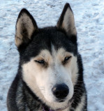 another sled-dog