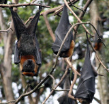 Fruit Bats...just hanging about