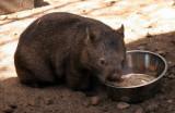 Midi the Wombat