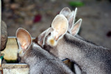 Pretty-faced or Whip-tail Wallabies