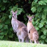 Straddie kangaroos