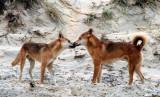 Dingo tête-à-tête