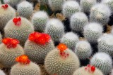 rows of cactus