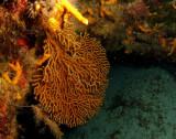 Deepwater Sea Fan