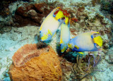 A trio of Queen Angelfish