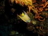 Queen angelfish swimming upside down
