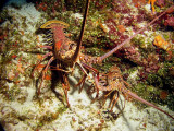 2 Spiny Lobsters