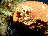 Staghorn coral inside a Barrel sponge