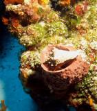 Conch shell inside a Barrel sponge