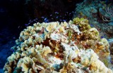 Thin Leaf Lettuce Coral with many tiny blue fish