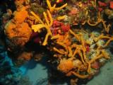 Staghorn corals
