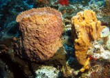 Barrel sponge & Elephant Ear sponge
