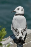 Mouette tridactyle (Beauharnois, 14 août 2008)
