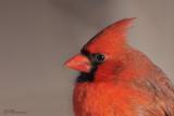 Cardinal rouge (Île des Soeurs, 12 janvier 2009)