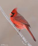 Cardinal rouge (Île des Soeurs, 19 janvier 2009)