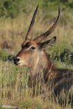 Cobe à croissant (Parc Kruger, 19 novembre 2007)