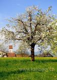 Bluehender Baum (93782)