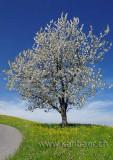 Bluehender Baum (81104)