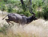 Kruger Kudu