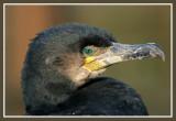 Phalacrocorax carbo