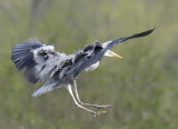 Ardea cinerea - Héron cendré - Grey Heron