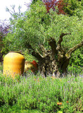 1000 YEAR OLD OLIVE TREE   702