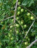 A GREEN BERRIES   681